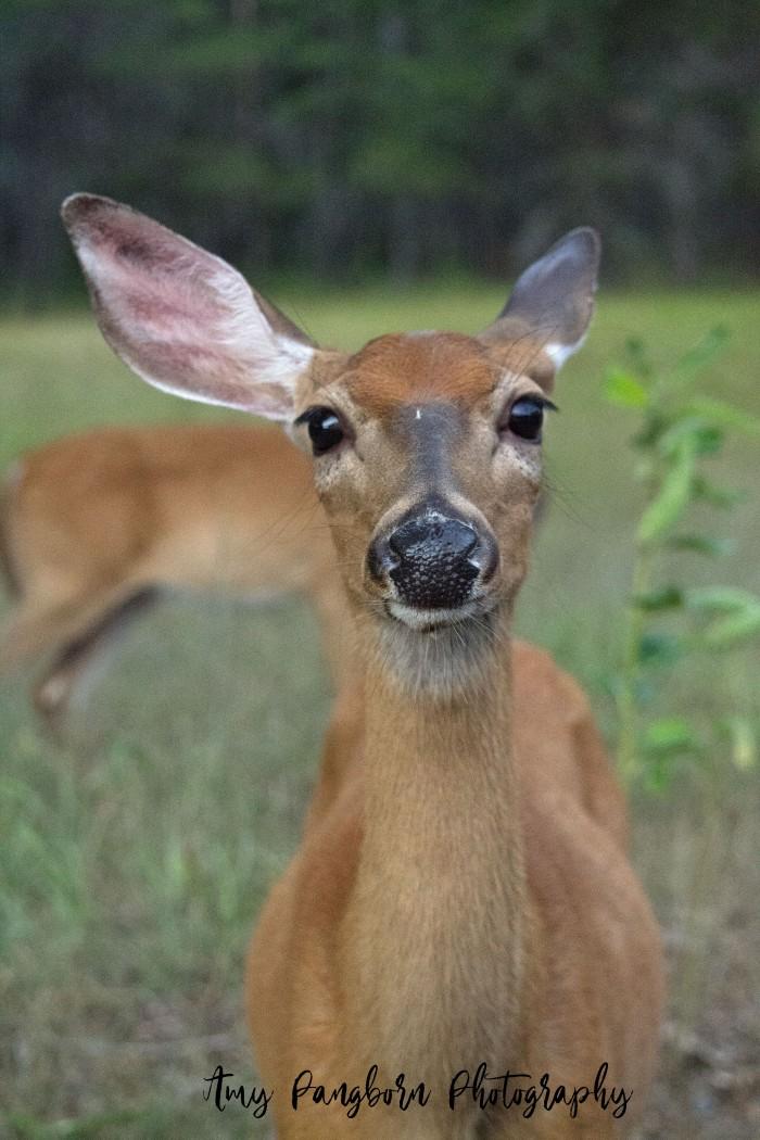 Deer with ear